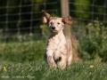 Afghanischer Windhund-Welpe rennend im Garten