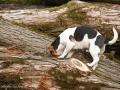 Jack Russell Terrier sucht zwischen Baumstämmen nach Mäusen