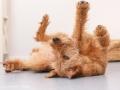 Irish Terrier - auf dem Rücken liegend
